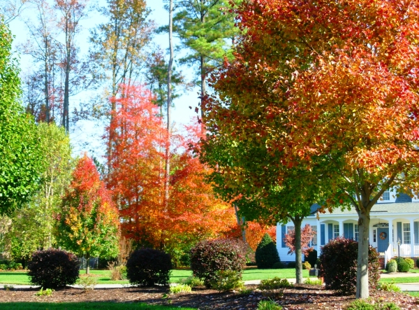Our neighbors' yards are particularly beautiful in the fall.   Yorktown, Virginia, October 2008