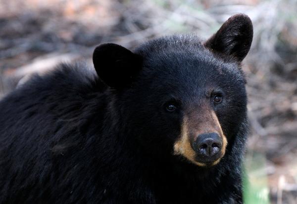 American black bear at Yellowstone National Park, Wyoming, June 2011 Photo by Hans Stieglitz via Wikimedia Commons, CC-BY-SA-3.0