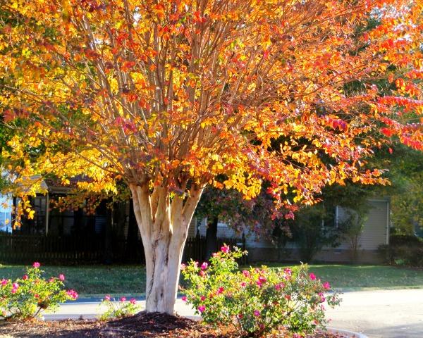 Autumn tree with roses, November 2014