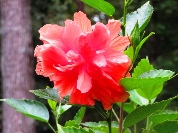 This hibiscus was one of many lovely plants on Mama and Daddy's back porch, September 2014.