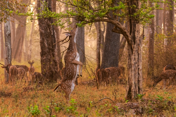 This stag was a bit more determined than his peers. Chital Stag in Nagarhole National Park, by Yathin S.  Krishnappa [CC-BY-SA-3.0, via Wikimedia Commons