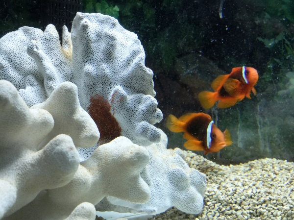 ...and also Mr. and Mrs. Clownfish (and their eggs)