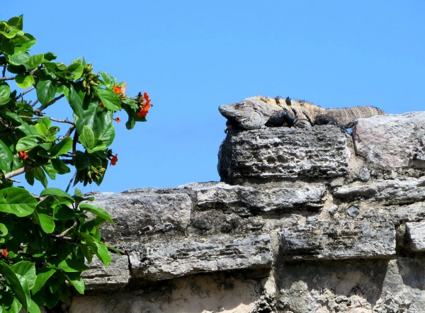 This big lizard seemed to enjoy the sunshine of the Mexican coast.  Tulum, January 2015