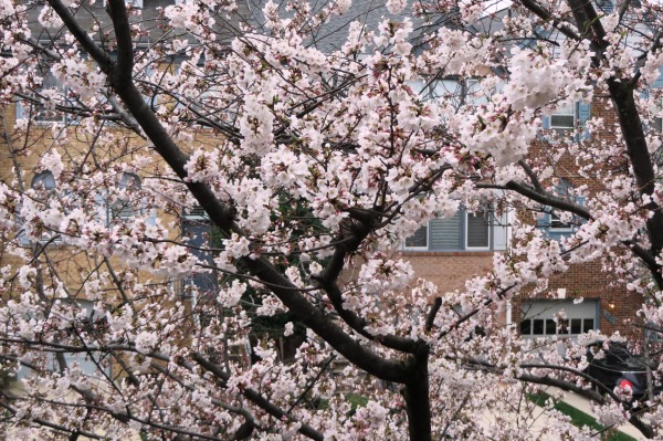 Cherry blossoms outside my window April 2015