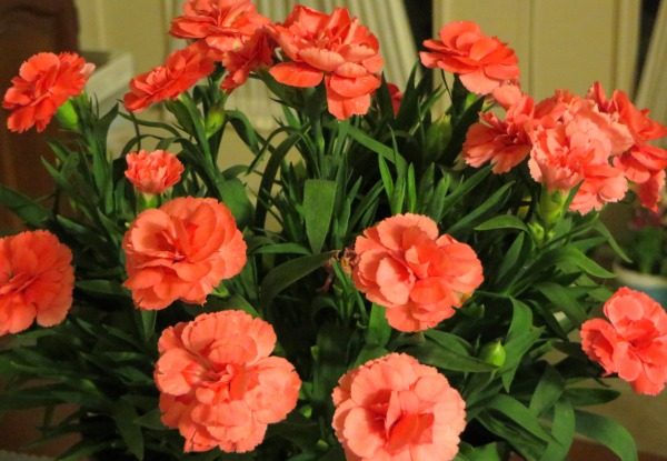 Wish me luck with this lovely dianthus! It's a perennial, so if I don't kill it, you may be seeing it again sometime.