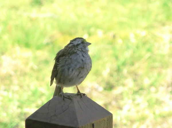This adorable visitor was content to rest on our deck railing for a few minutes. Yorktown, April 2015