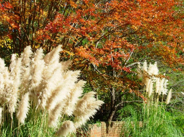Feathery grasses and fiery foliage: get ready for the autumn show. Yorktown, November 2008