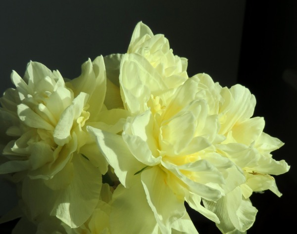 Choose a flower and be filled with joyful wisdom! Daffodil doubles, April 2015