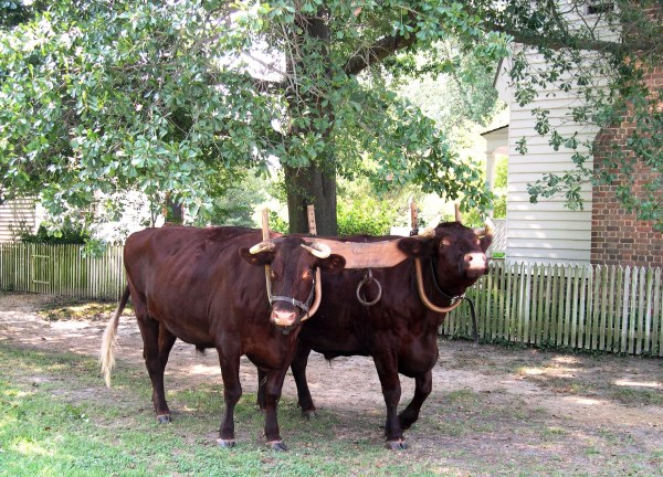 Quiet and strong, two oxen stroll down Duke of Gloucester Street. Colonial Williamsburg, Virginia, October 2005