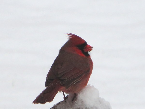 The cardinals stayed busy even in the snow, York County, February 2016. This is a view from our kitchen window as one perches on the deck railing.
