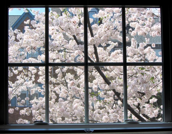 Well, these are cherry blossoms and not peach, but they must have heard the sounds too... Peeping from our window, April 2013.