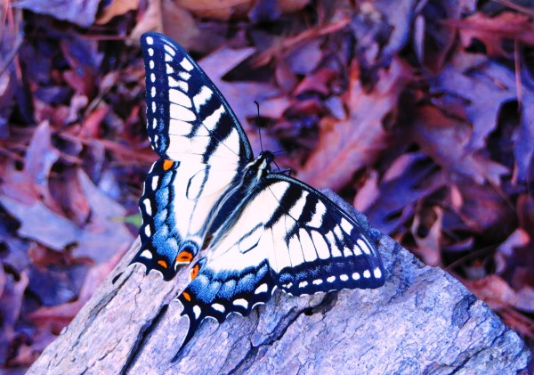 This butterfly appeared to be dying, but its beauty was still remarkable.  March 2016