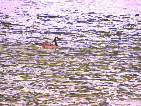 A goose goes with the flow of the Potomac River, Washington DC, March 2016.