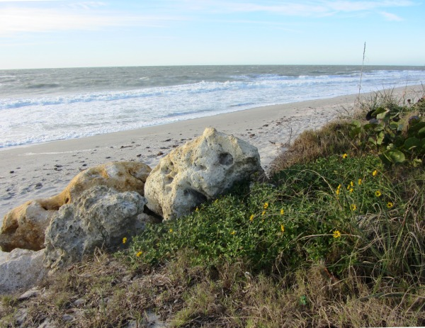 Amid chill winds, wildflowers bloom on the untended, rocky shore of Captiva Island, January 2013.