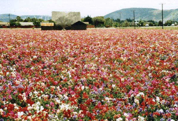 The flower seed industry created beauty as well as jobs. Lompoc, California, 1992