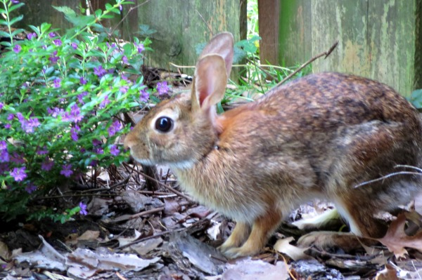 This sweet bunny came to visit and stayed awhile. July 2016