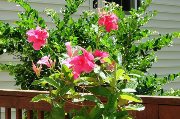 The mandevilla is blooming profusely again, outgrowing the tomato cage propping it up. August 2016