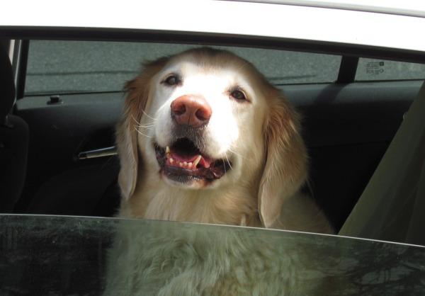 Happy dog in Eastham, Massachusetts. by John Phelan via Wikimedia Commons